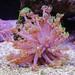 Alguns corais - Reef 250 Litros