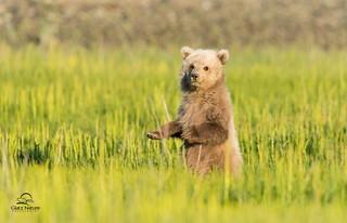 Balancing Brown Bear Cub