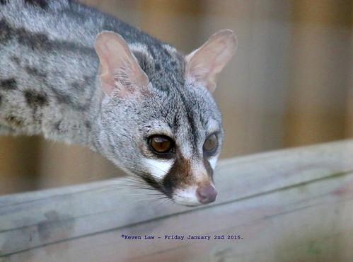 england cats cat kent furry kitty furryfriday wingham winghamwildlifepark wildlfiepark pardinegenet genettapardina forestgenet westafricanlargespottedgenet