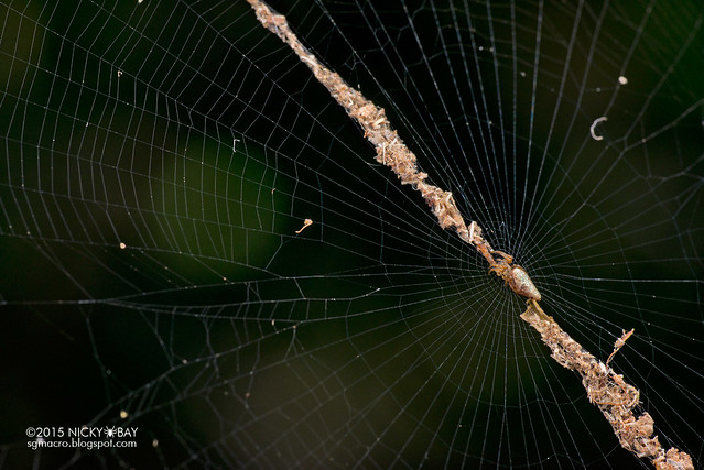 Trashline orb web spider (Cyclosa sp.) - DSC_7816