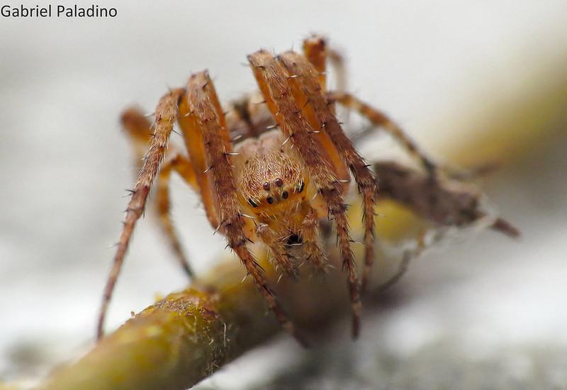 Araña - Sin identificar