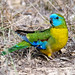 Turquoise Parrot (Neophema pulchella) by David Cook Wildlife Photography
