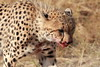 Blood faced cheetah