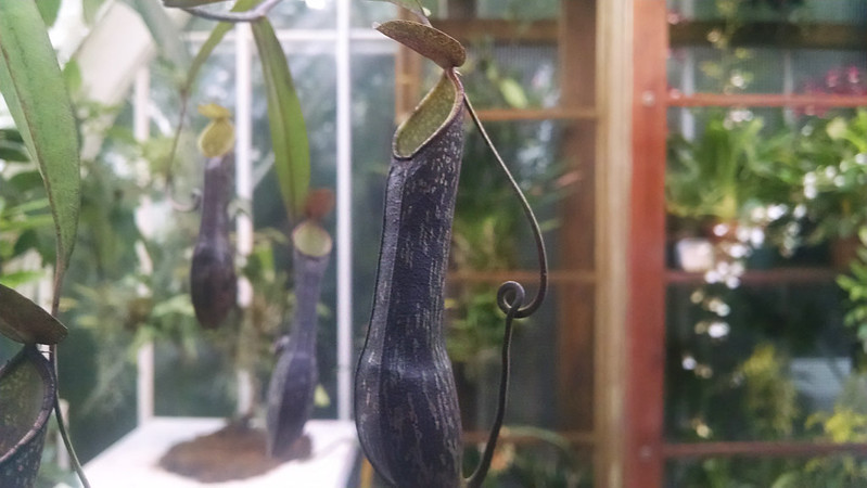 Nepenthes mikei at the Conservatory of Flowers.