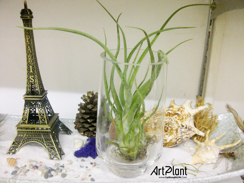 art plant | cay khong khi | tieu canh khong khi | terrarium | khong khi dai phu