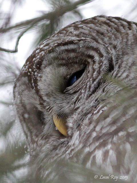 1.06215 Chouette rayée / Strix varia varia / Barred Owl