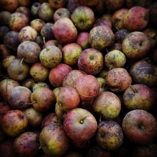 Pommes et tavelure