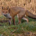 Forest Farm Fox November 24, 2014405.jpg