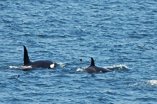 Killer Whales and Galapagos Storm Petrels