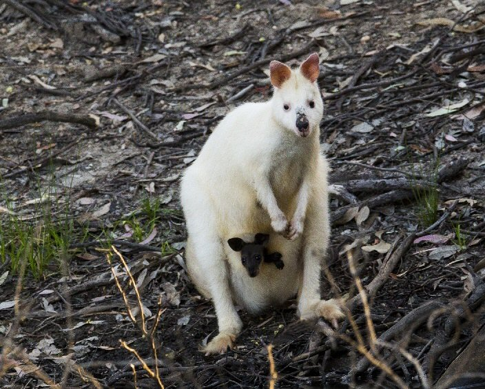 Albino Wallaby and young