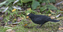 robin(0.0), cinclidae(0.0), emberizidae(0.0), animal(1.0), nature(1.0), fauna(1.0), acridotheres(1.0), beak(1.0), blackbird(1.0), bird(1.0), wildlife(1.0),