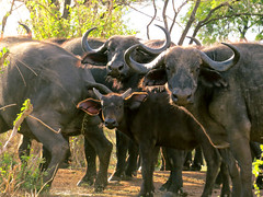 indian elephant(0.0), bull(0.0), cattle-like mammal(1.0), animal(1.0), water buffalo(1.0), working animal(1.0), mammal(1.0), horn(1.0), herd(1.0), ox(1.0), fauna(1.0), cattle(1.0), safari(1.0), wildlife(1.0),