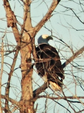 Bald Eagles in tree FEMALE 04-20141210