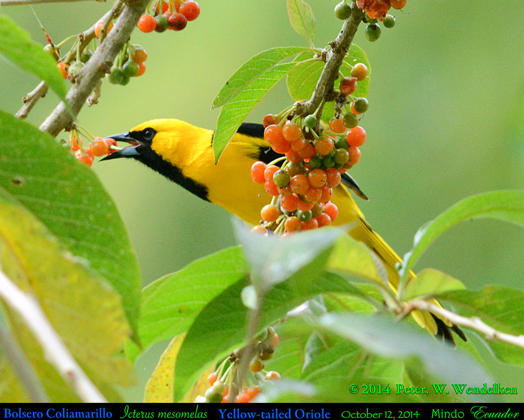 YELLOW-TAILED ORIOLE Icterus mesomelas Eating a Pico Pico Fruit in Mindo in Northwestern ECUADOR. Photo by Peter Wendelken.