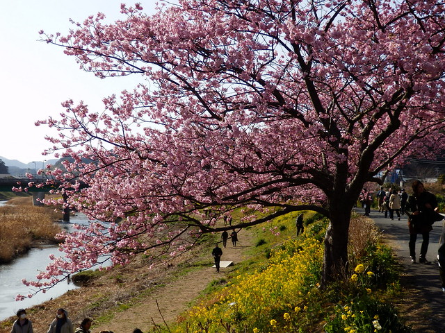 みなみの桜と菜の花まつり|Kawazu-zakura Cherry Blossoms and Rape Blossoms Festival