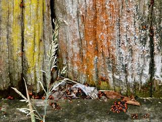 elm beetles and lichen, Goobragandra Australia