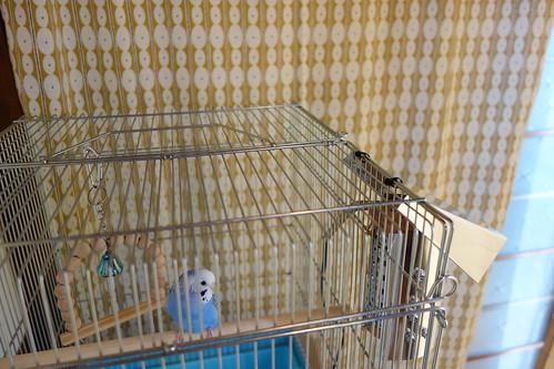 Budgerigar_Ico_(2014_11_12)_2 青いセキセイインコが籠の中の止り木に止まっている写真。籠の向かって右側面にアルミ板で作られた囲いと屋根が付けられたヒーターが取り付けられている。