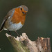 A photo of a Robin