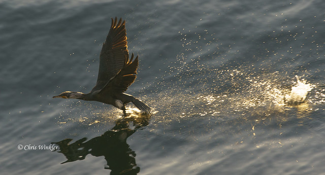 Air Cormorant Taking Off いざ、出発