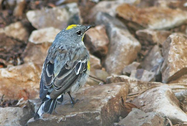 Yellow-rumped Warbler 20d_8003