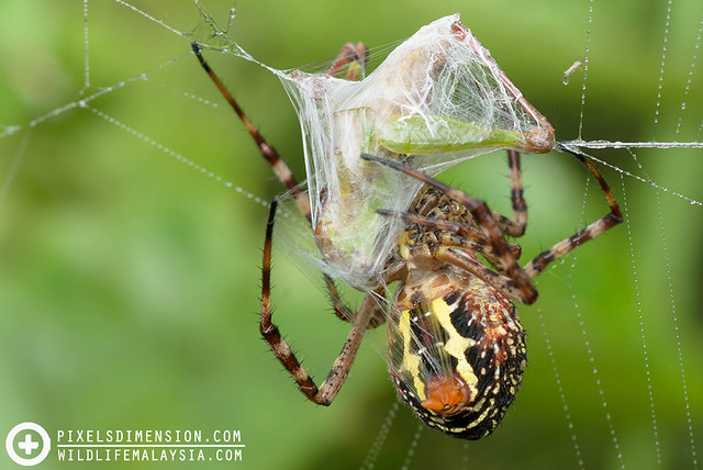 An Oval St. Andrew Cross Spider wrapping prey- Argiope aemula ♀