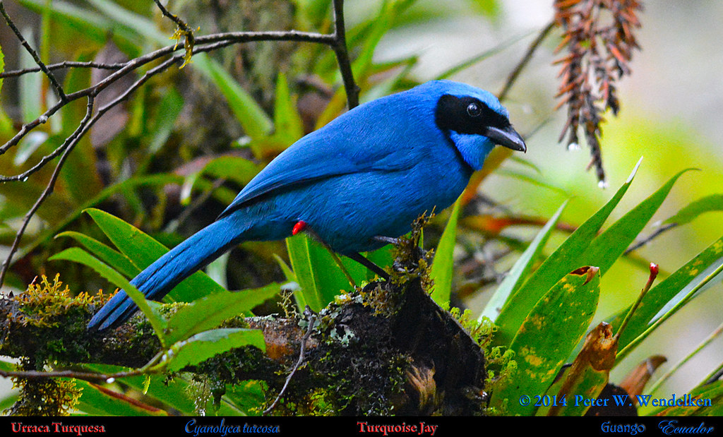 TURQUOISE JAY Cyanolyca turcosa in a Tree at Guango on the East Slope of the Andes in northern Ecuador. Jay Photo by Peter Wendelken.