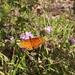 Gulf Fritillary Butterfly In My Garden 2015 - 03