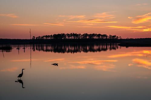 cambridge sunset unitedstates maryland easternshore greatblueheron blackwaternwr