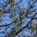 Walnut tree flowers and new leaves