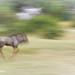 Blue Wildebeest running.jpg