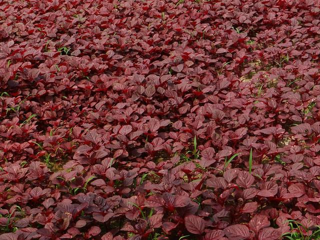Amaranth: RED  /  (Bangla = লাল নোটে শাক )