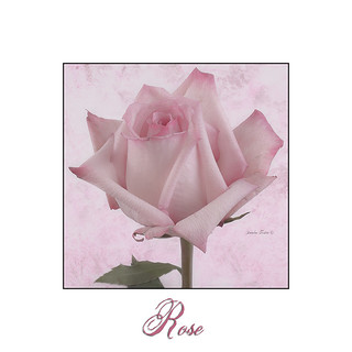 Single Pink Rose Blossom