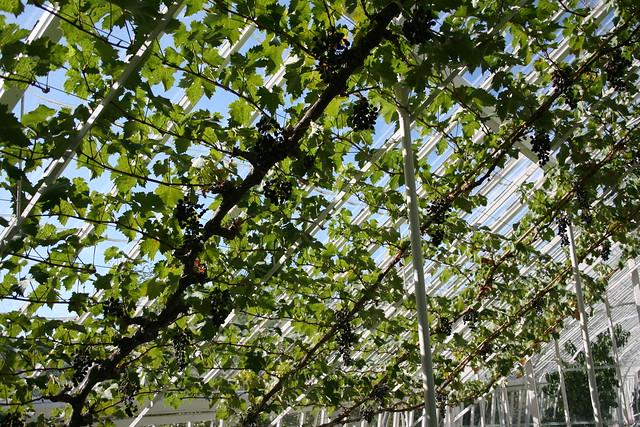 Indoor vine