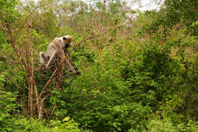 Monkey - Yala National Park