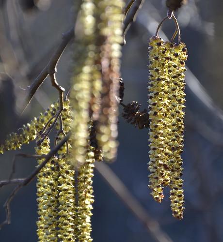 Flores y conos de aliso (Alnus glutinosa). Montes de Toledo