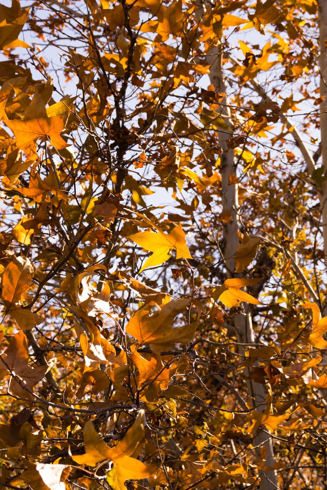1411 Fall Colors near Sycamore Canyon