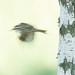 Eurasian Treecreeper (Certhia familiaris) Trädkrypare