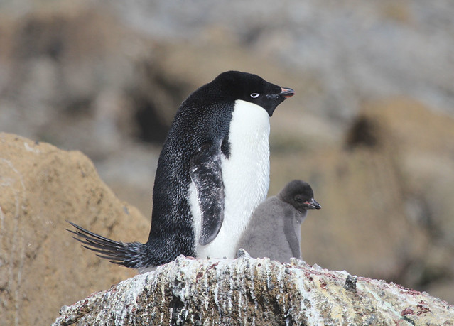Adelie penguin & chick
