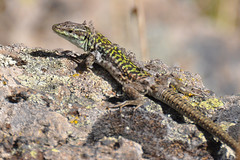 agama, animal, reptile, lizard, fauna, close-up, lacerta, dactyloidae, agamidae, scaled reptile, wildlife,