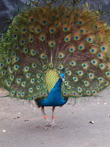 多摩動物公園 孔雀