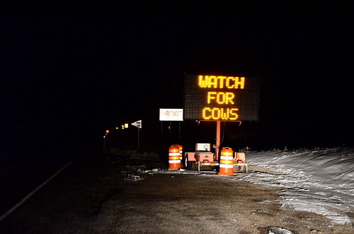 watch for cows