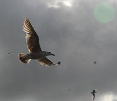 seagull (4)