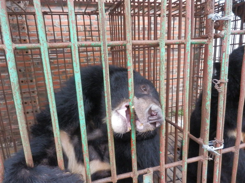 Bear languished in cage at Cau Trang bear farm