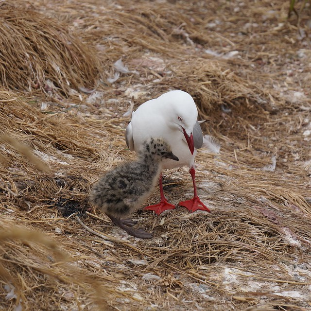 Red beaked gull and chick