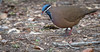 Blue-headed Quail-Dove - Starnoenas cyanocephala