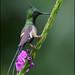 Wire-crested Thorntail (Popelairia popelairii) by Glenn Bartley - www.glennbartley.com