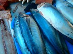 mackerel(0.0), tuna(0.0), cod(0.0), forage fish(0.0), bonito(0.0), sardine(0.0), animal(1.0), fish(1.0), fish(1.0), seafood(1.0), marine biology(1.0), food(1.0), milkfish(1.0), blue(1.0),