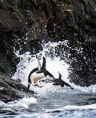 Chinstrap Penguins on Elephant Island