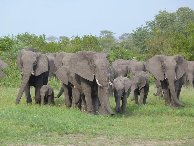 Manada de elefantes fotografiados en un safari por el Kruger de Sudáfrica