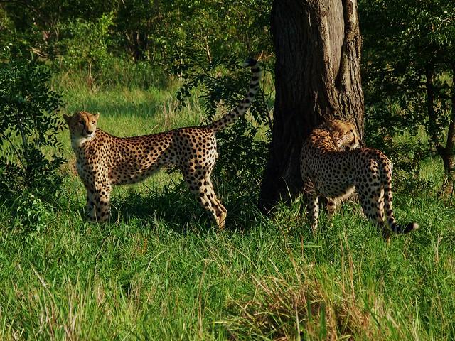 Dos guepardos en el Parque Kruger de Sudáfrica